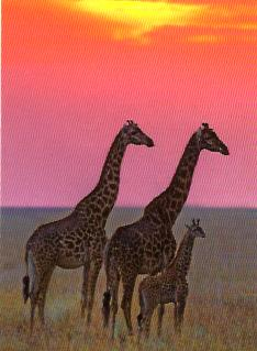 30339__Family_of_Masai_Giraffe__SCAN__94448