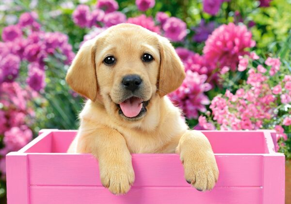 52226__Labrador_Puppy_in_Pink_Box__30730