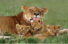 81848__Lioness_and_Cubs__74072