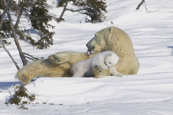ca12_polar_bear_mother_and_cub_manitoba_canada_1000piece__98429